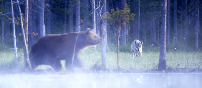 The Quot Big Four Quot Finland S Largest Carnivores Attract